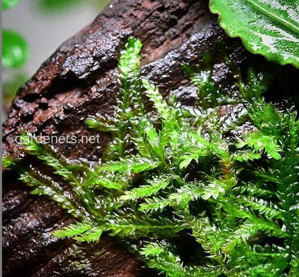 Java Moss