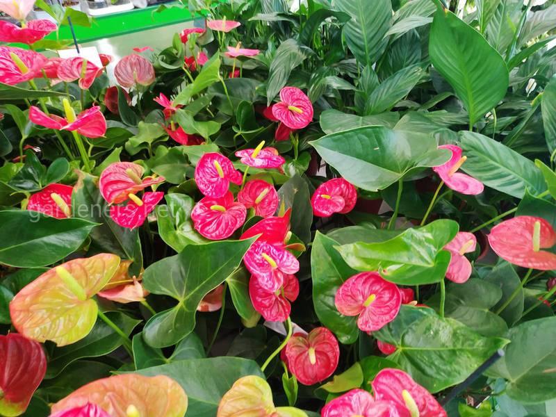 Топ 5 домашніх рослин з листям та квітами у формі сердця