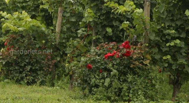 Для чего в начале лозы сажают розы?