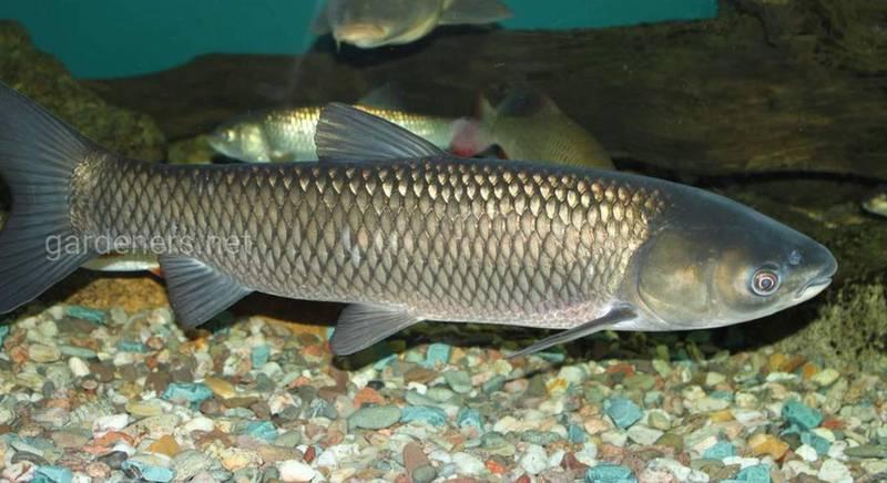 Виды рыб для разведения в пруду