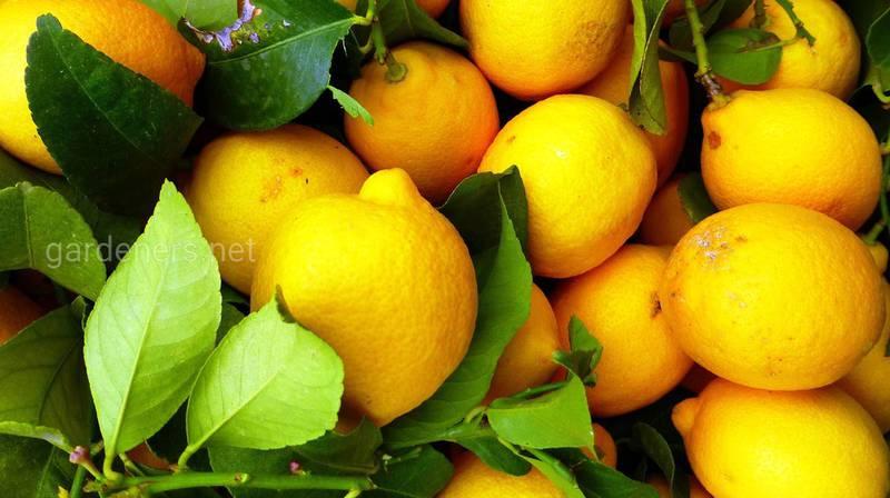 Способы использования лимона в повседневной жизни