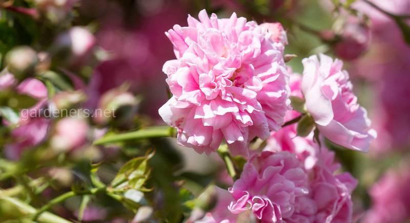 Як правильно обрати місце та грунт для плетистих троянд?