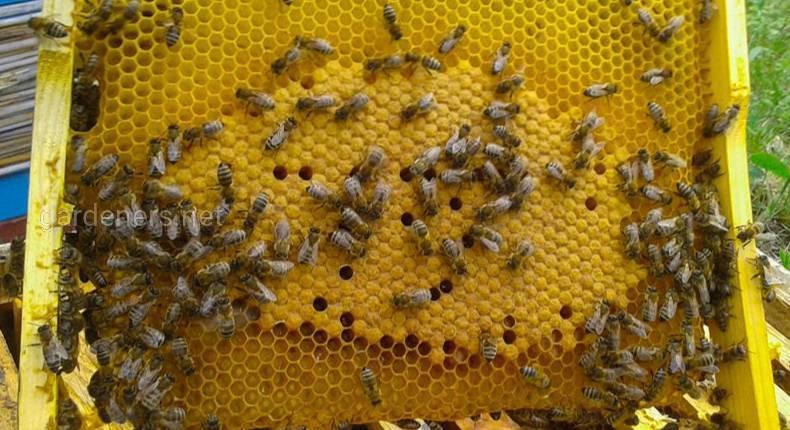 Всесвітній день бджіл: історія свята, досягнення та перспективи бджільництва в Україні