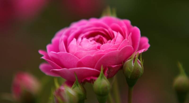 Виды кустовых роз. Использование разных видов роз в ландшафте