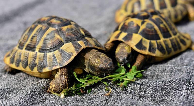 Кімнатні черепахи - вихованці без клопоту