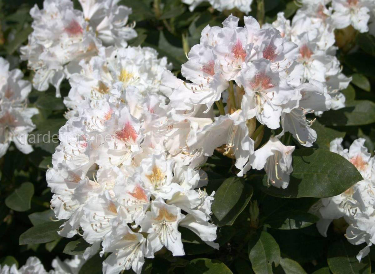 Рододендроны Cunningham's White