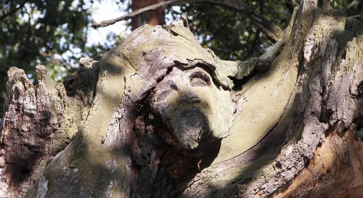 самые старые деревья киева.jpg