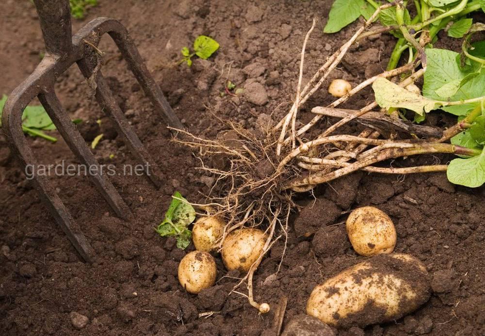 Что делать с почвой после картофеля