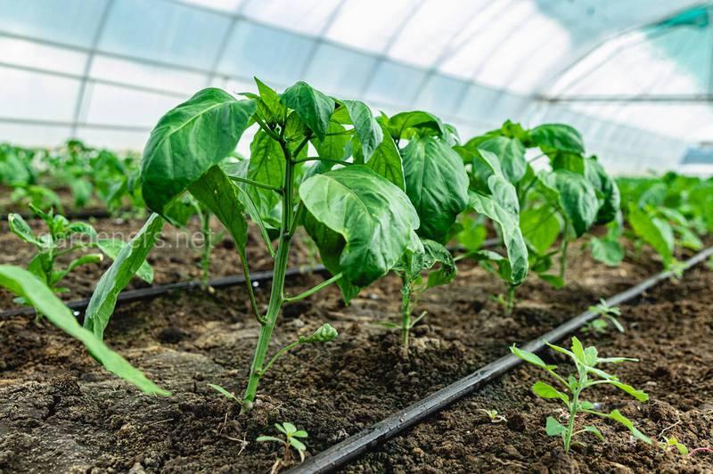 Каковы требования к выращиванию рассады перца?