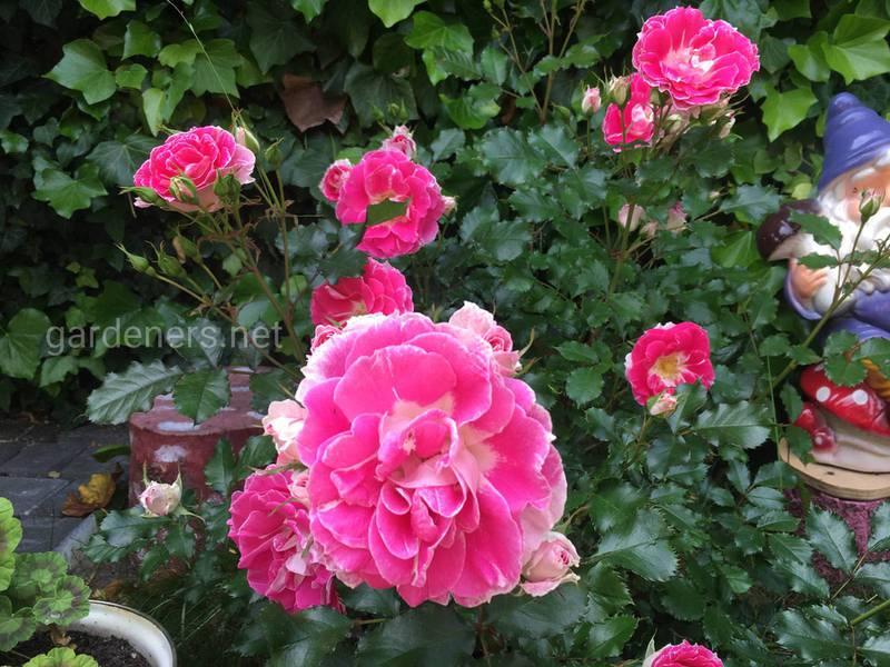 Хвороби троянди