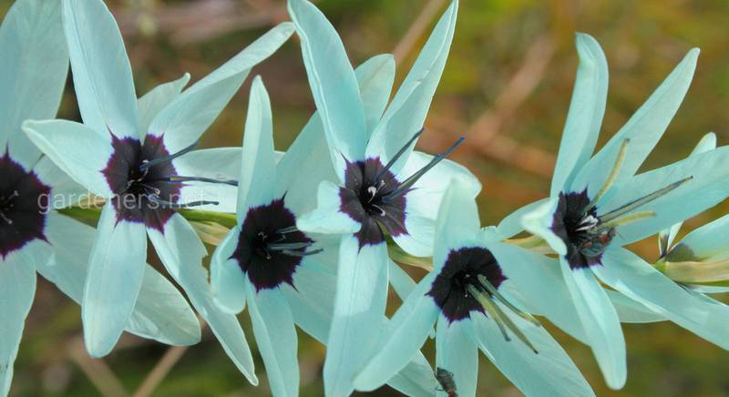 Виды и сорта иксии: 17 лучших представителей рода