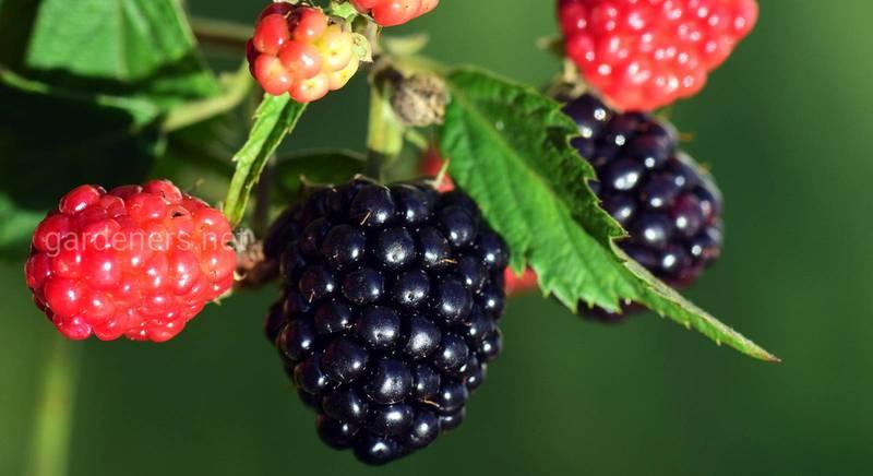 ТОП-14 найбільш солодких сортів ожини для любительського та комерційного вирощування