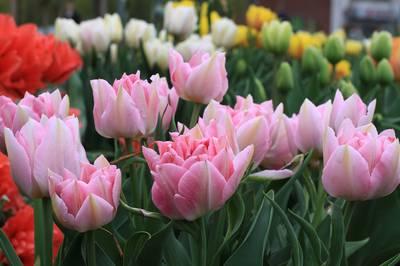 Тюльпан махровый ранний