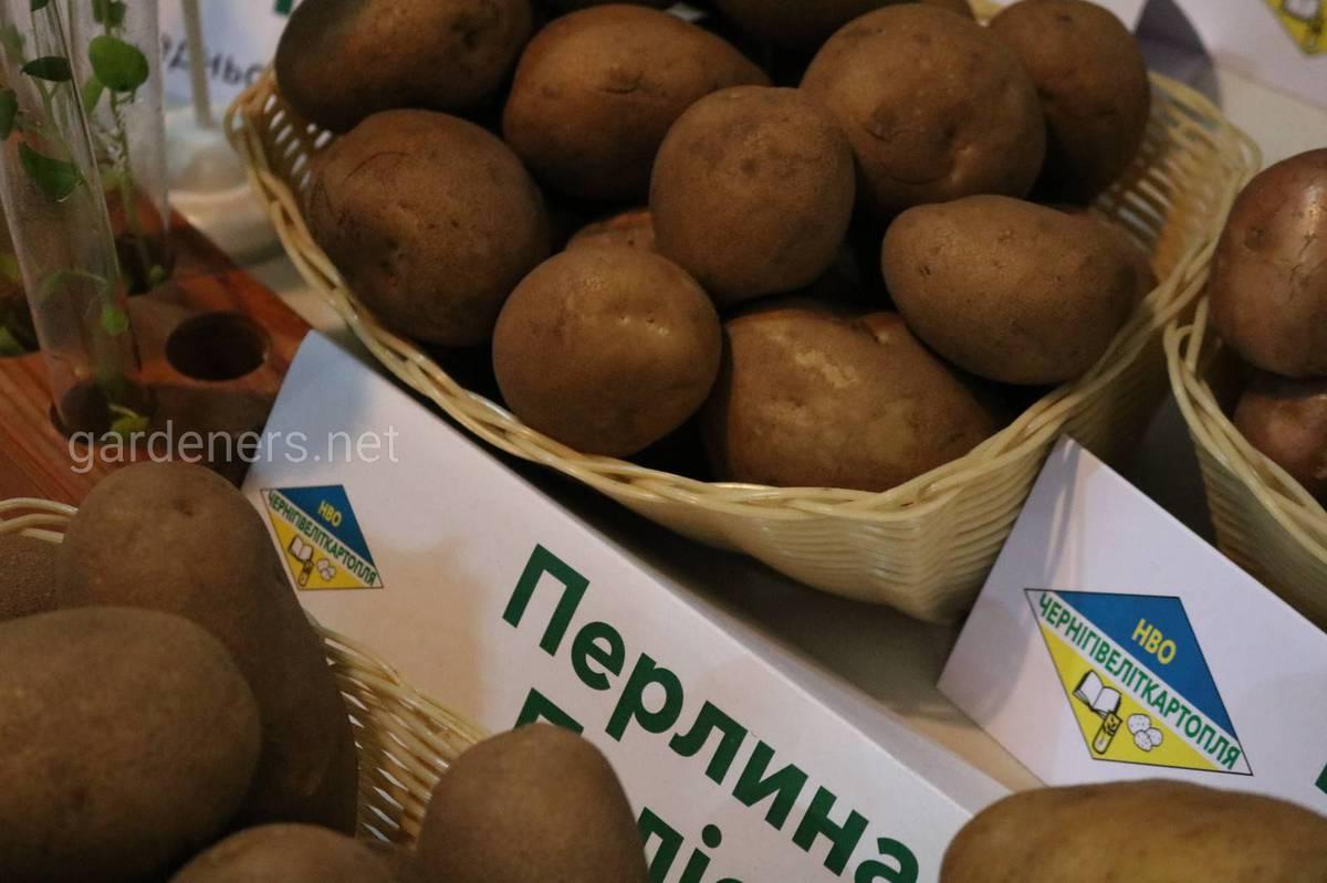 сорт картоплі Перлина Полісся
