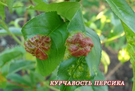 Курчавость листьев1