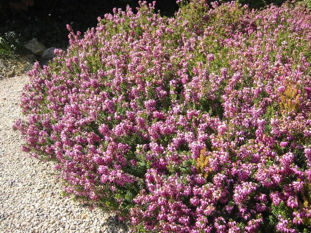 Erica herbacea L.