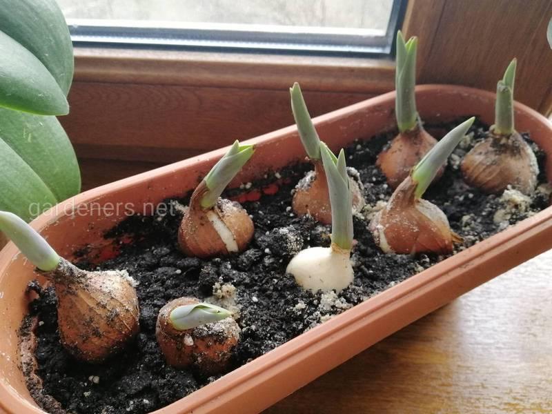 Как выращивать тюпаны в горшке?
