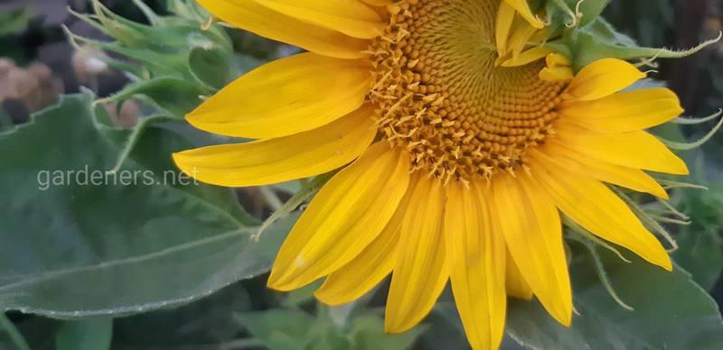 Які цілющі властивості соняшника?