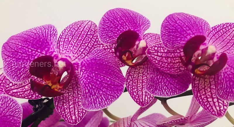 Орхідея - фаленопсис.  Чому не цвіте?