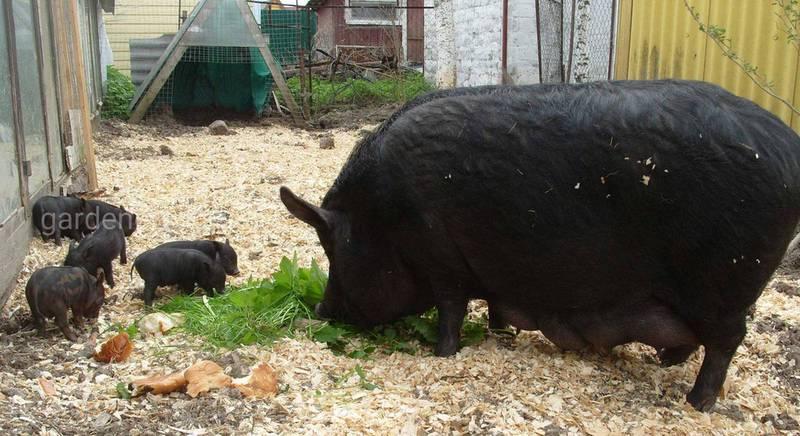 Кармал - мрія свинаря