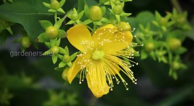 Лекарственные растения, которые нужно заготавливать в июне