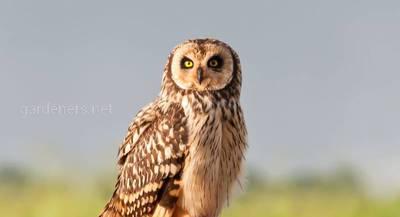 Птица Болотная сова