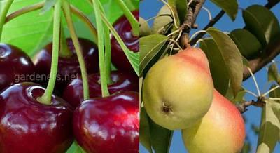 Эксперимент: 5 сортов груш, вишня-черешня на одном дереве