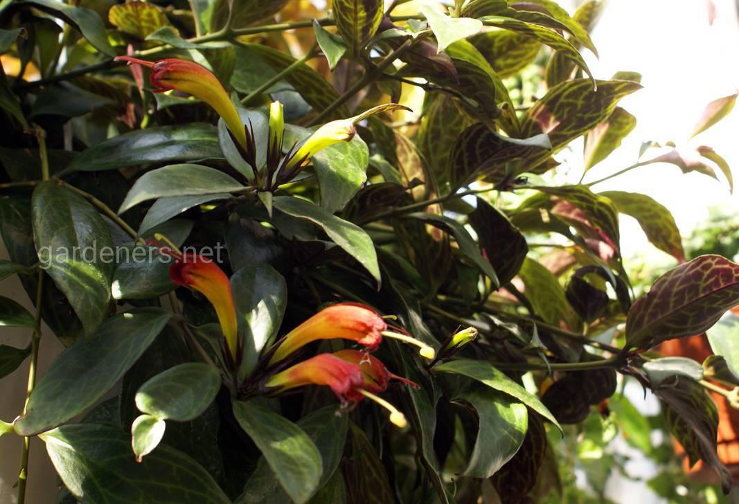 Aeschynanthus marmoratus