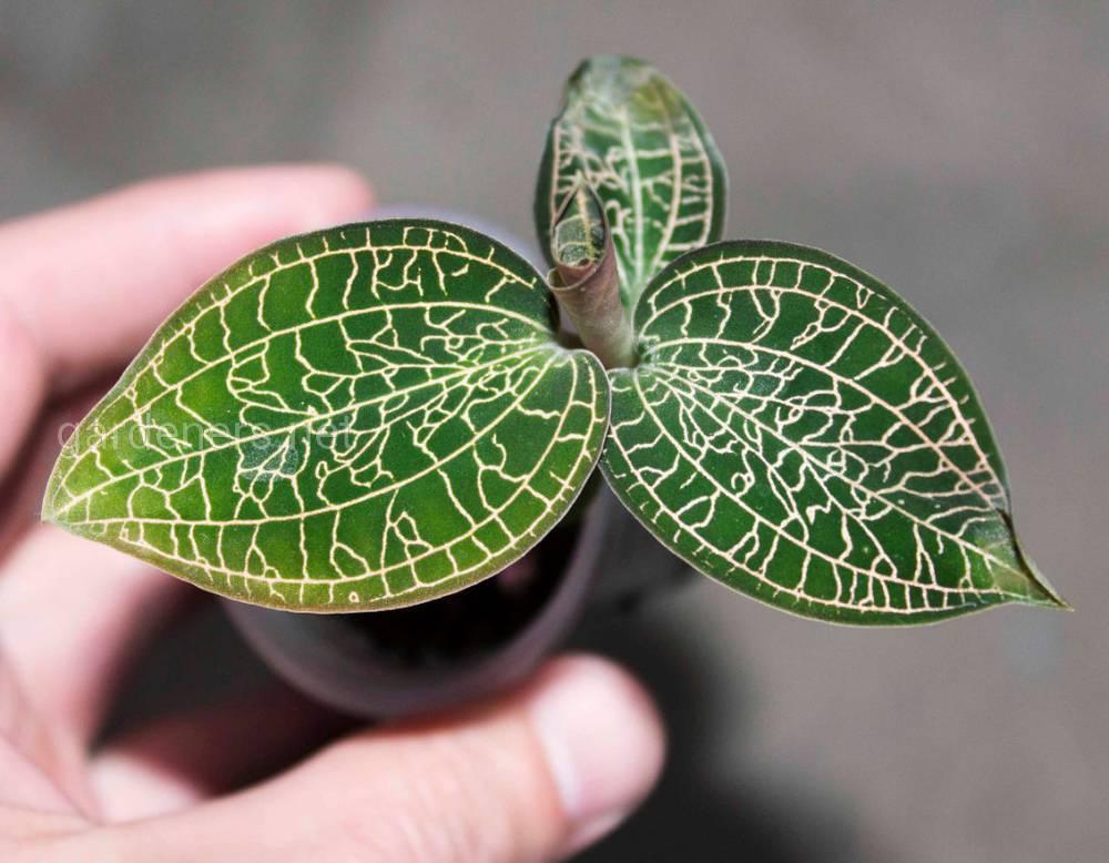 Орхидея Анектохилус
