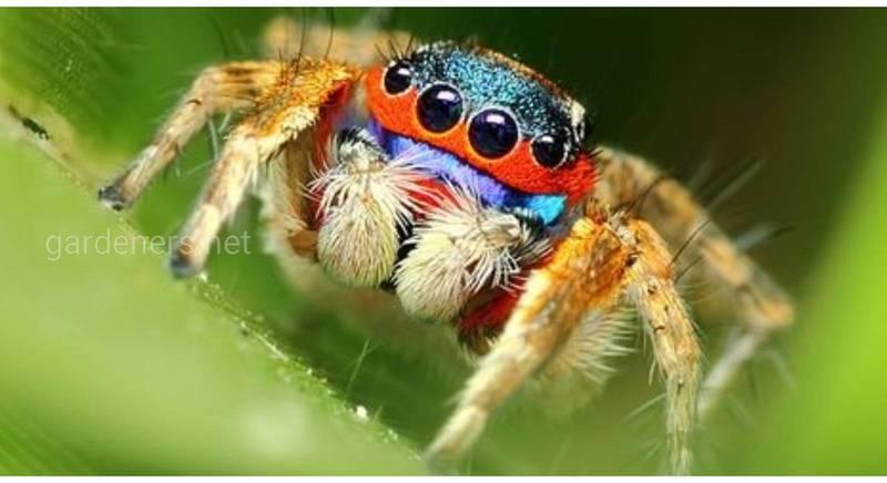 Пауки Багира - единственные вегетарианцы среди паукообразных!