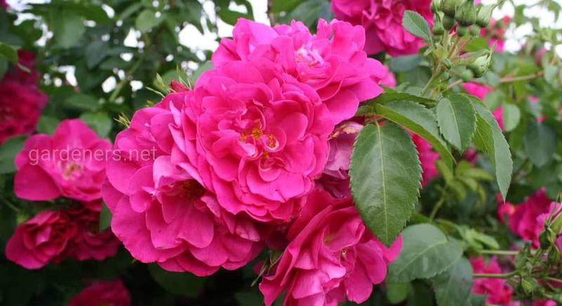 Канадские розы – идеальные представители для суровых зим