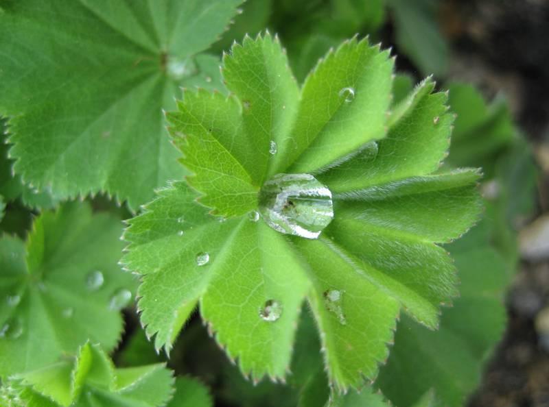 Манжетка - польова рослина з неймовірними цілющими властивостями!
