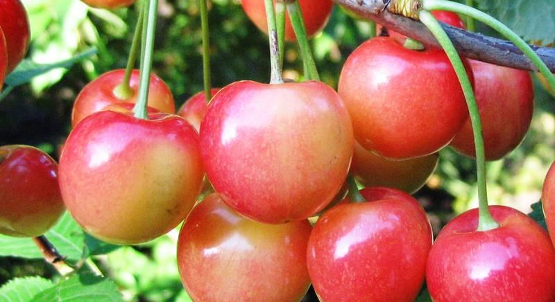 Как посадить черешню? Способы ее размножения: семенами, черенками, прививкой