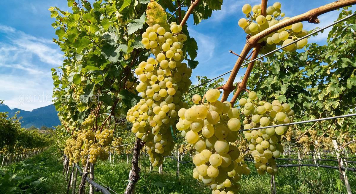 самый лучший сорт винограда для вина