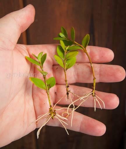 выращивания самшита из черенков