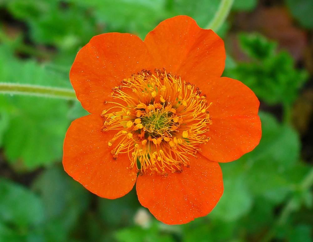 фото указан, гравилат фото цветы правильно подобрать
