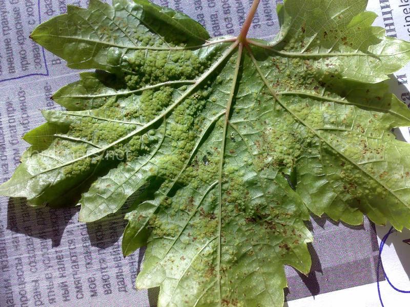 Виноградная листовертка