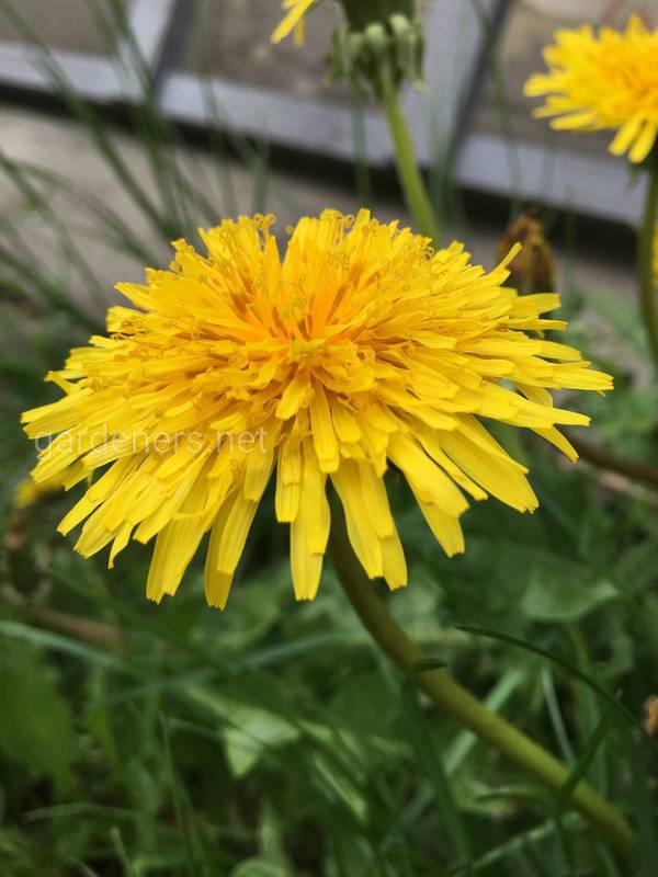 «Мед» з квітки кульбаби