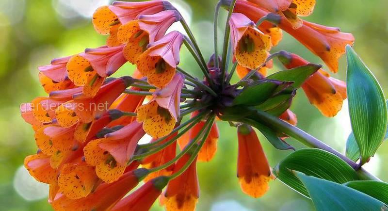 Бомарея - вічнозелена ліана з неймовірно гарними квітами