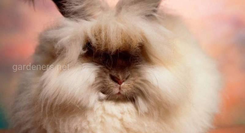 Содержание ангорских кроликов и уход за ними