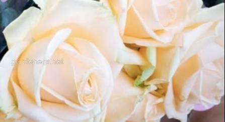 Види і сорти троянд