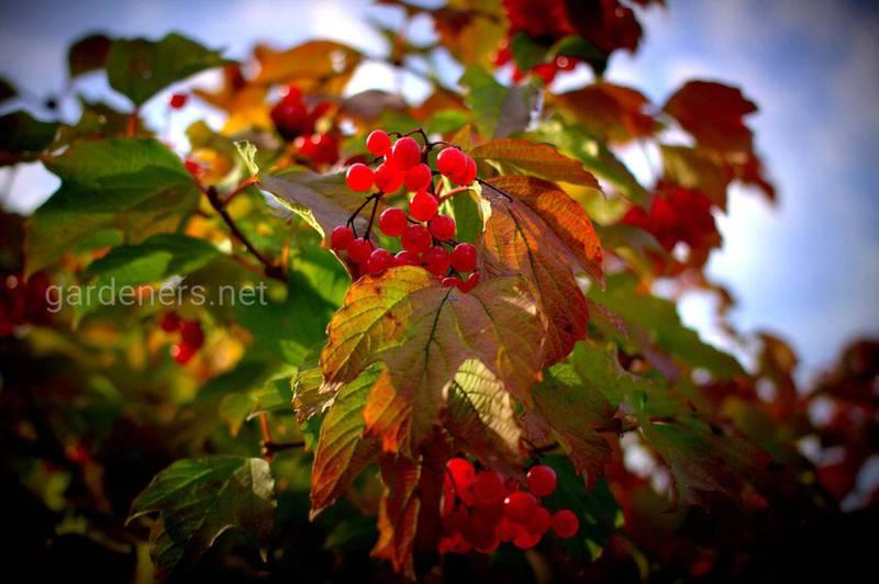Калина обыкновенная - растение с широчайшим спектром лечебных свойств