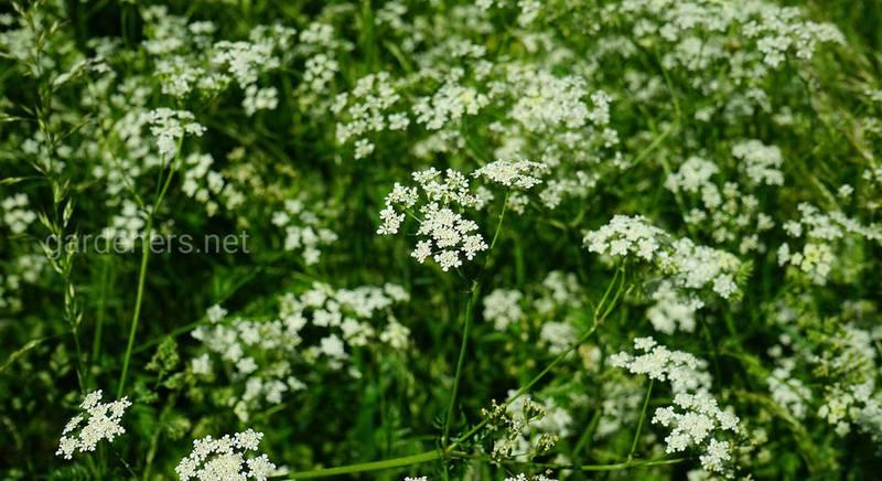 Выращивание и размножение тмина на садовом участке
