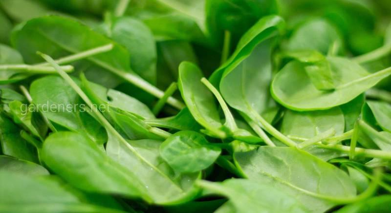 Семена, каких полезных трав и зелени можно собрать самостоятельно