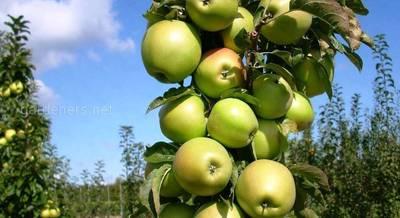 про колоновидные яблони.jpg