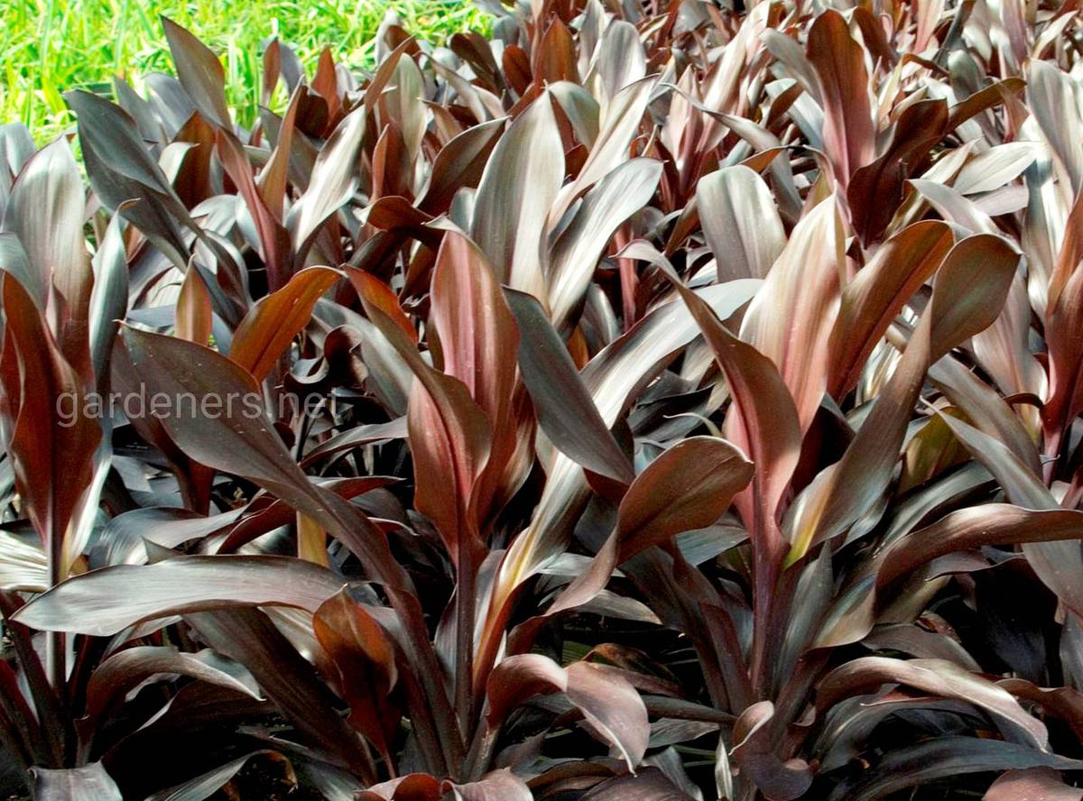 Cordyline Caruba Black