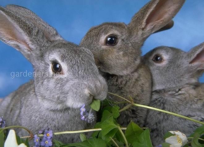 Травянистые растения, полезные для кроликов