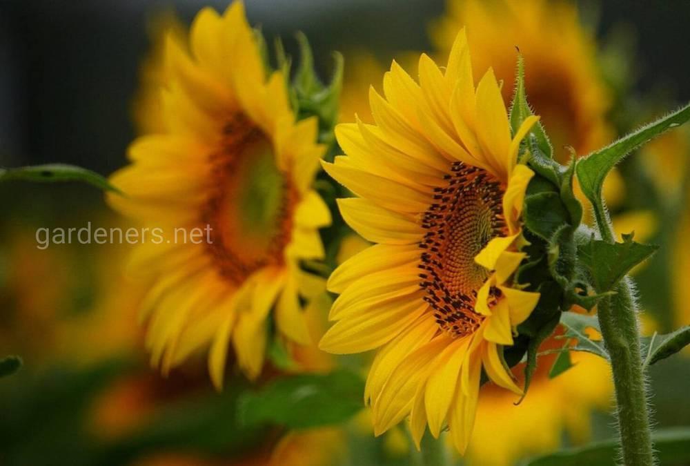 Съедобные цветы в нашем саду