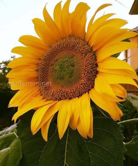 Соняшник-гігант