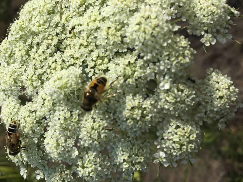 Как севооборот и плотный посев влияют на нашествие морковных мух?